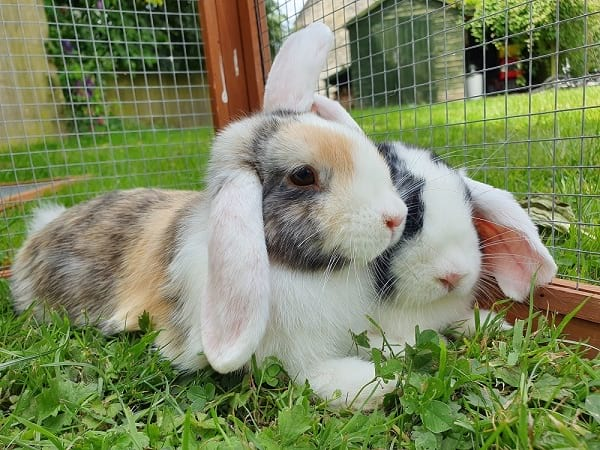 Mini Lop Rabbits make fantastic family pets