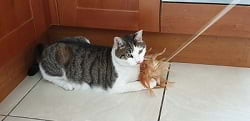 Cat Playing With Fishing Rod Toy