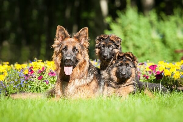 Pollen allergies can be diagnosed in dogs of all ages but most commonly they develop in young adult dogs.