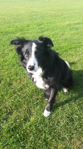 Holly the Collie