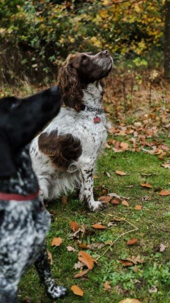 Oscar the Springer Spaniel and Nala the Pointer