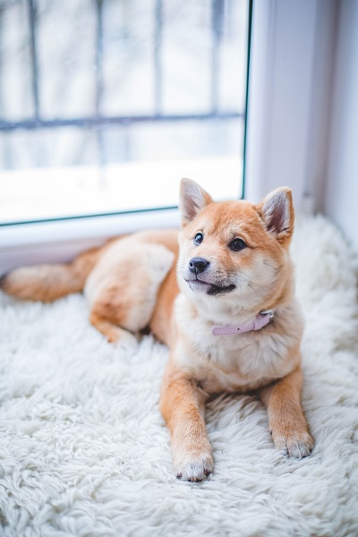 Shiba Inu happy to settle on it's own
