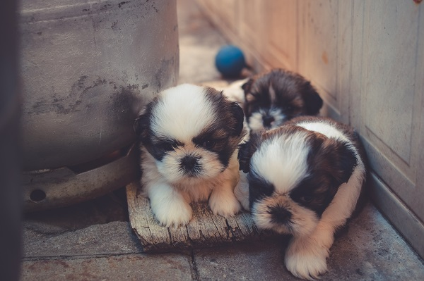 Shih Tzu puppies exploring